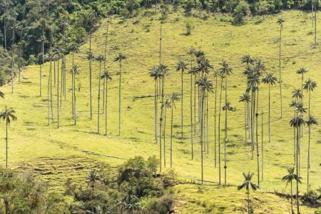 Die einzigartigen Wachspalmen im Valle del Cocora auf einer Kolumbienreise besichtigen