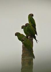 Ecuador Rundreise Regenwald Papageien