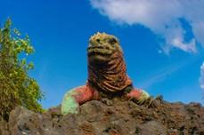 Ein Leguan auf den Galapagos Inseln bei einer Ecuador Reise