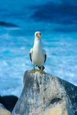 Eine Pazifikmöwe auf Galagos bei einer Reise durch Ecuador