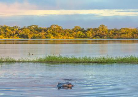 Flussdelfine im Amazonas Fluss schwimmen sehen
