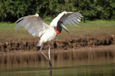 Jabiru mit aufgespannten Flügeln im Wasser stehend