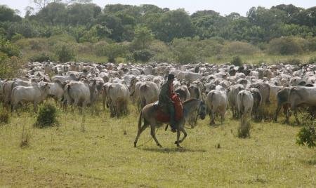 Rinderhirt auf Pferd treibt Rinderherde zusammen im Süd-Pantanal
