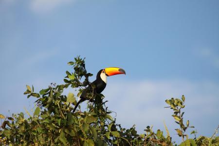 Toco-Tukan, der hochoben auf Sträucherkrone im Süd-Pantanal sitzt