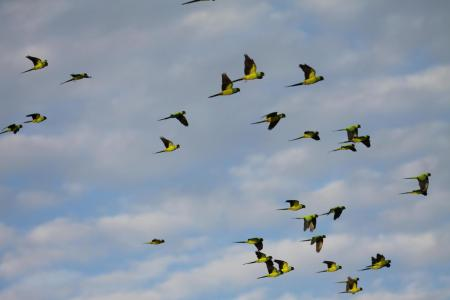 fliegender Papageienschwarm im Süd-Pantanal