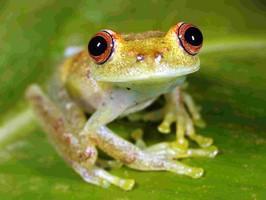 Dschungel Frosch