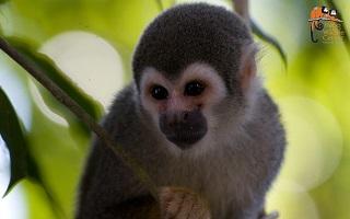 Ein kleiner Affe im Napo Wildlife Center in Ecuador auf einer Rundreise