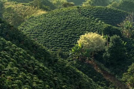 Die Kaffeeplantagen der Kaffeezone in Kolumbien kennenlernen