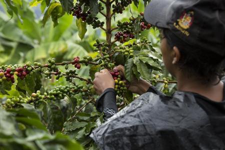 In der Kaffeezone Kolumbiens den Prozess der Kaffeeherstellung erlernen