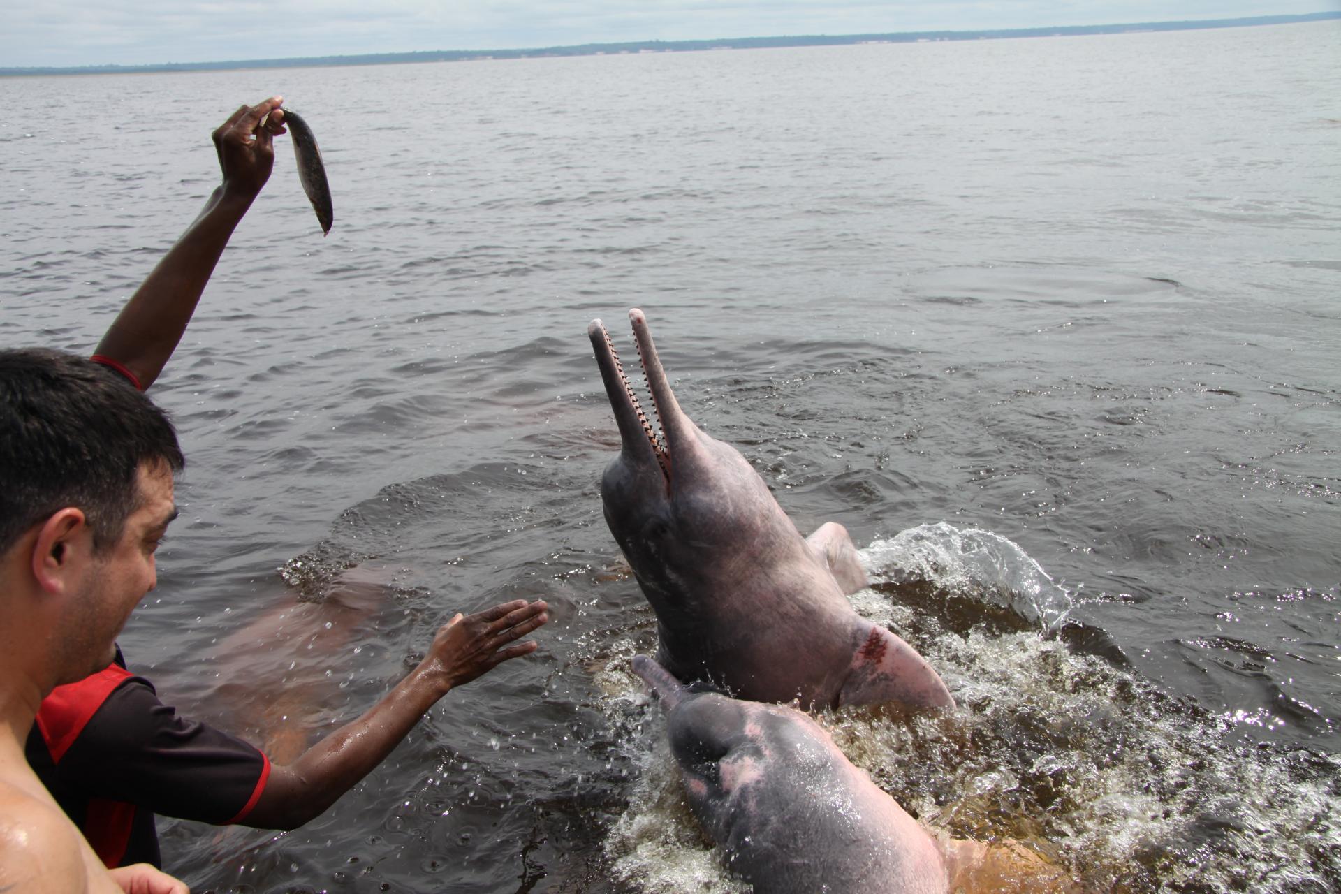 Fütterung eines Amazonas Delfines
