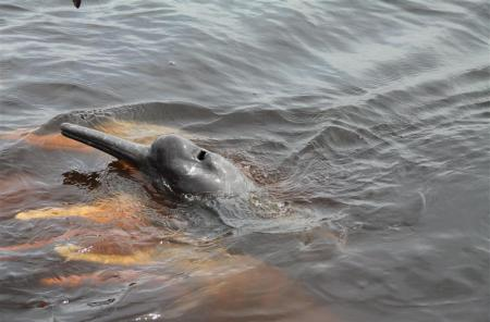 Flussdelfine im Amazonas