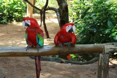 Rote Aras im Foz Tropicana Bird Park