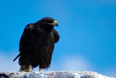 Ein Adler auf Bartolome island auf Galapagos bei einer Ecuador Reise