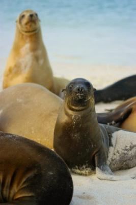 Seelöwen am Strand des Pazifiks bei einer Ecuador Galapagos Reise