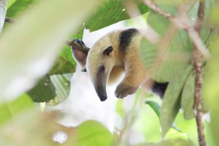 Ein Ameisenbär in der Nähe der Cristalino Jungle Lodge