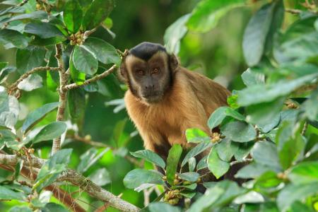 Ein Affe nahe der Cristalino Jungle Lodge