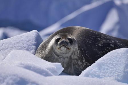 Entdecken Sie Tiere wie Robben und Seelöwen auf Ihrer Antarktis Kreuzfahrt