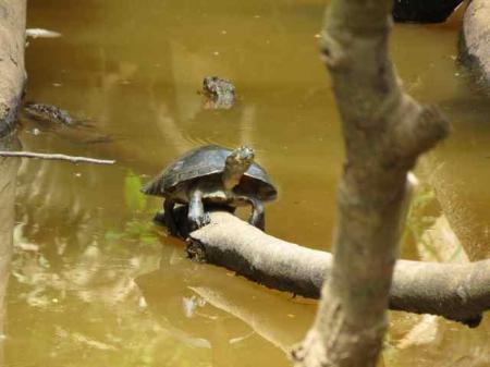 charapa turtle_klein