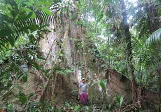 huao area huge ceiba tree_klein