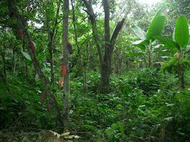 Reise Ecuador Regenwald Yacuma Kakaoplantage