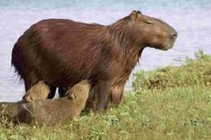 Ein Tier in Llanos bei einer Reise durch Venezuela.