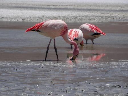 Beobachten Sie die eleganten Flamingos, die in der Laguna Colorada in Bolivien zuhause sind