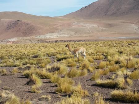 Tauchen Sie ein in die Hochebenen Südamerikas und durchqueren Sie den Lebensraum der Vicunas