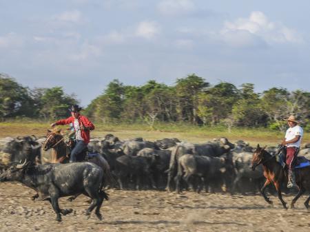 Büffeltreiben auf der Ilha de Marajo