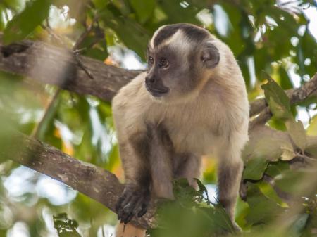 Erleben Sie einen Kapuziner-Affe im Nord-Pantanal
