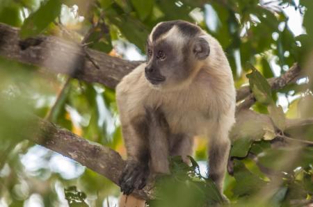 Äffchen klettert im Nord Pantanal