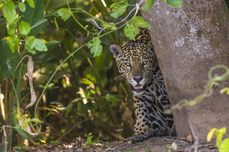 Jaguar im Pantanal schaut hinter einem Baum hervor