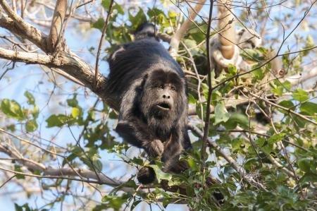 Affe im Nord-Pantanal