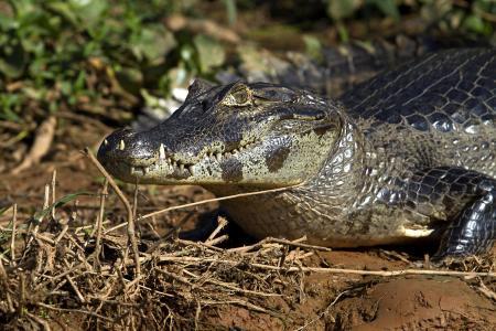 Kaiman am Flussufer im Nord-Pantanal