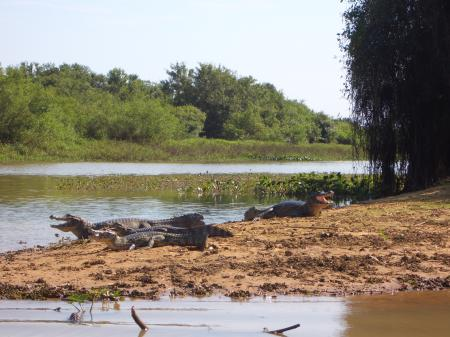 Kaimane am Flussufer im Nord-Pantanal