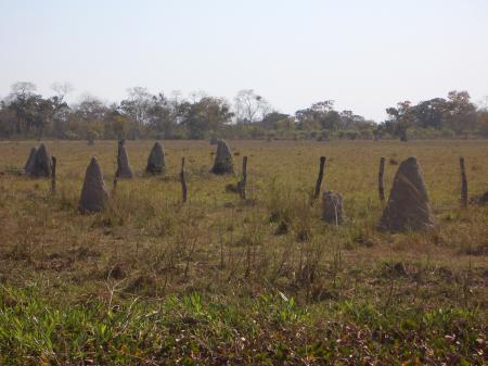 Termitenhügel im Nord-Pantanal
