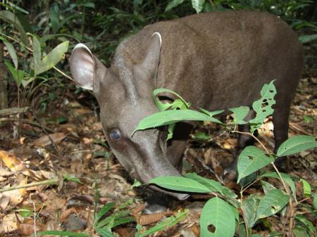 Neugieriger Tapir im Dschungel des Amazonas