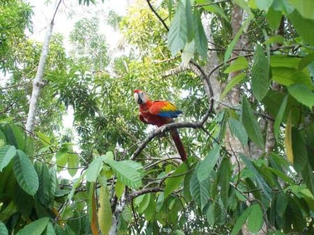 Ein bunter Ara im Grün des Regenwalds am Rio Negro