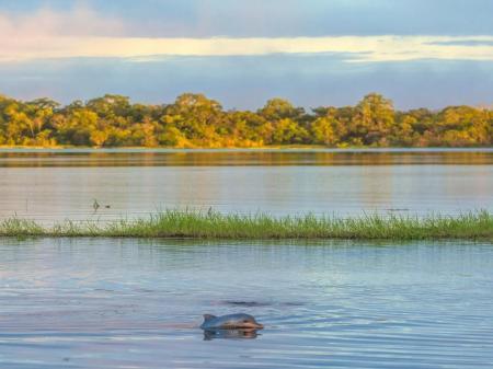 Rosa Flussdelfin im Rio Negro
