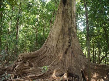 Beeindruckende Wurzel eines Baumriesens im Amazonas-Regenwald