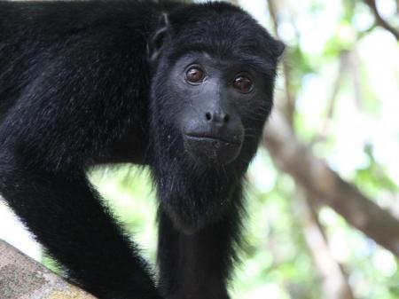 Ein Affe im Amazonas-Regewald