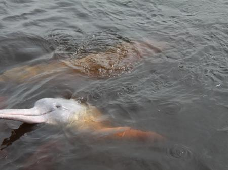 Flussdelfine im Rio Negro