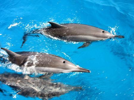 Delphine tummeln sich vor Fernando de Noronha