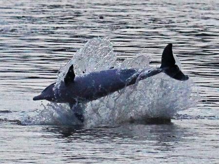 Delfin springt aus dem Wasser während Amazon Clipper Cruise