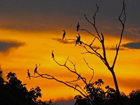 Vögel auf Baum bei Sonnenuntergang während Amazon Clipper Cruise