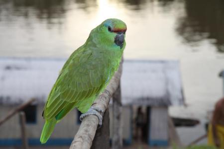 Bunter Papagei bei der Juma Amazonas Lodge