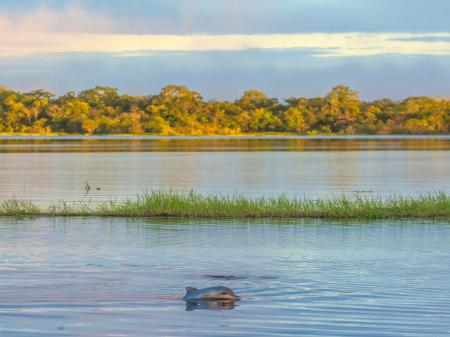 Ein Süsswasserdelfin genießt die friedliche Atmosphäre im Amazonasgebiet