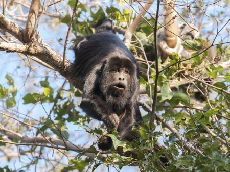 Affe in den Baumwipfeln im Pantanal