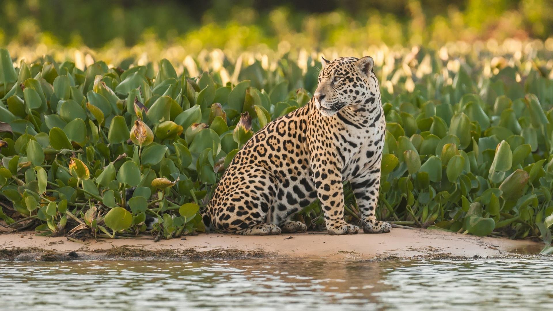 Brasilien Nord Pantanal: 4 Tage Reisebaustein - Jaguar Expedition intensiv: Jaguar