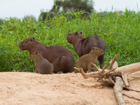 Capivara im Nord Pantanal