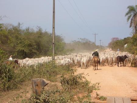 Rinder entlang der Transpantaneira